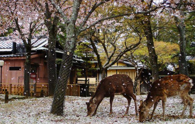 Rådjur i Naraparken